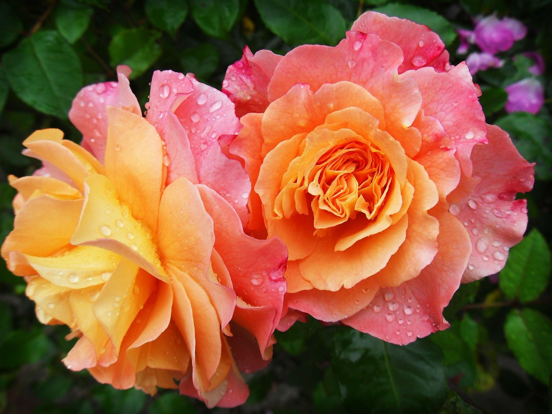 rosa rosa arancione originale B&B solis